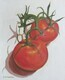 Tomatoes on the Vine 7